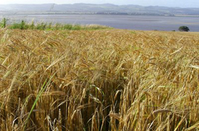 A field of ripening barley in North-East Fife, photographed by Peter Mannox